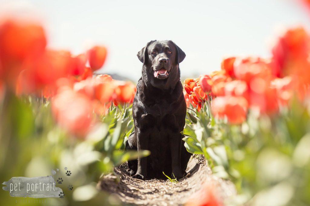 labradors-freyja-en-juno-tulpenvelden-16