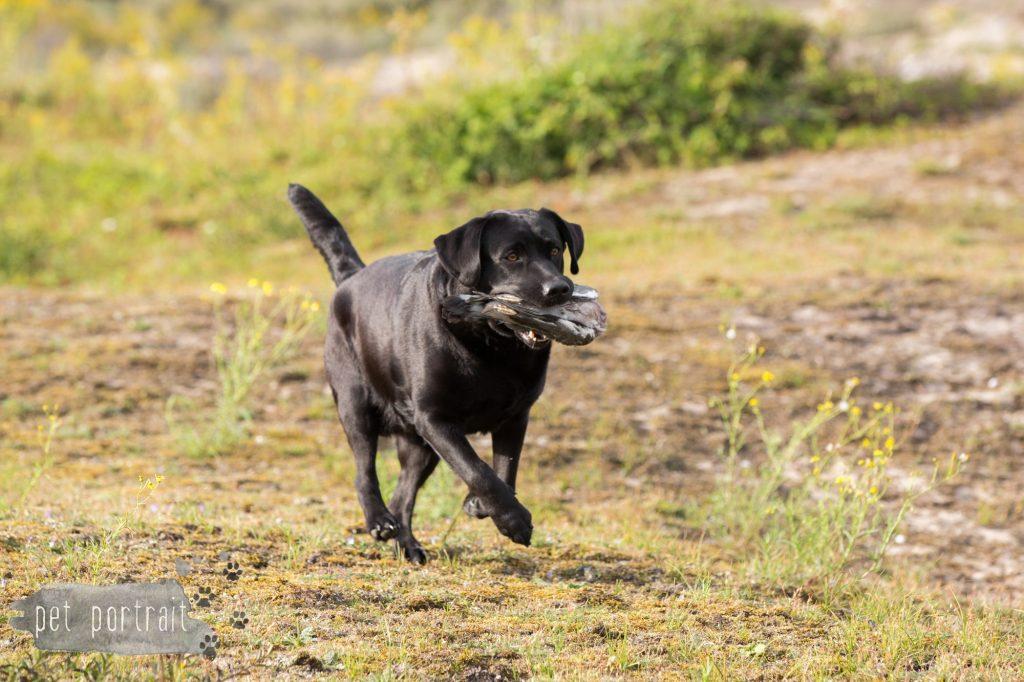 training-labradors-freyja-en-juno-5