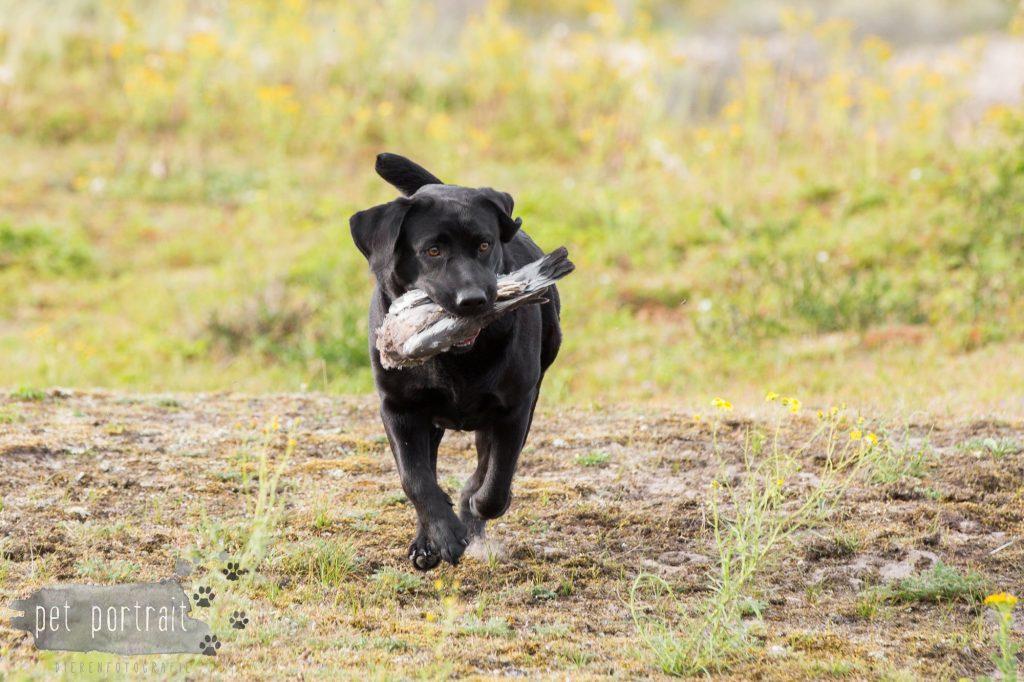 training-labradors-freyja-en-juno-6