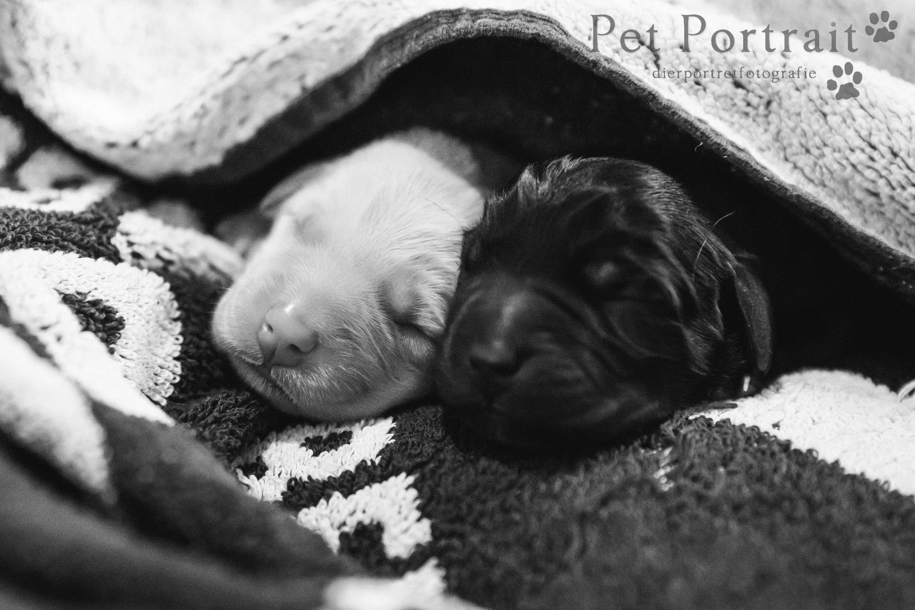 Geboorte pups Juno - Zwart-Wit-14