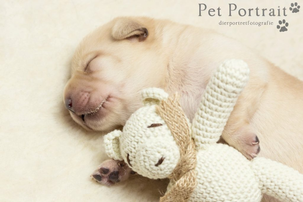 Newborn puppies - Labrador pups-71