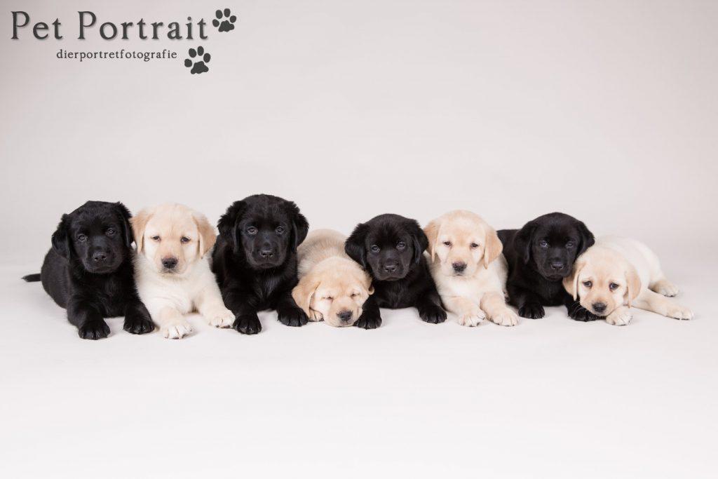 Hondenfotograaf Hillegom - Nestfotoshoot Labrador retriever pups geel en zwart-3