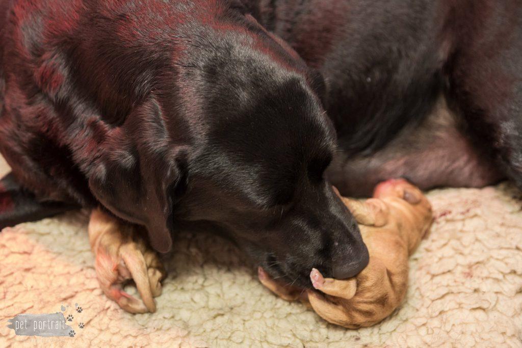 Geboorte pups Juno en Shai-10