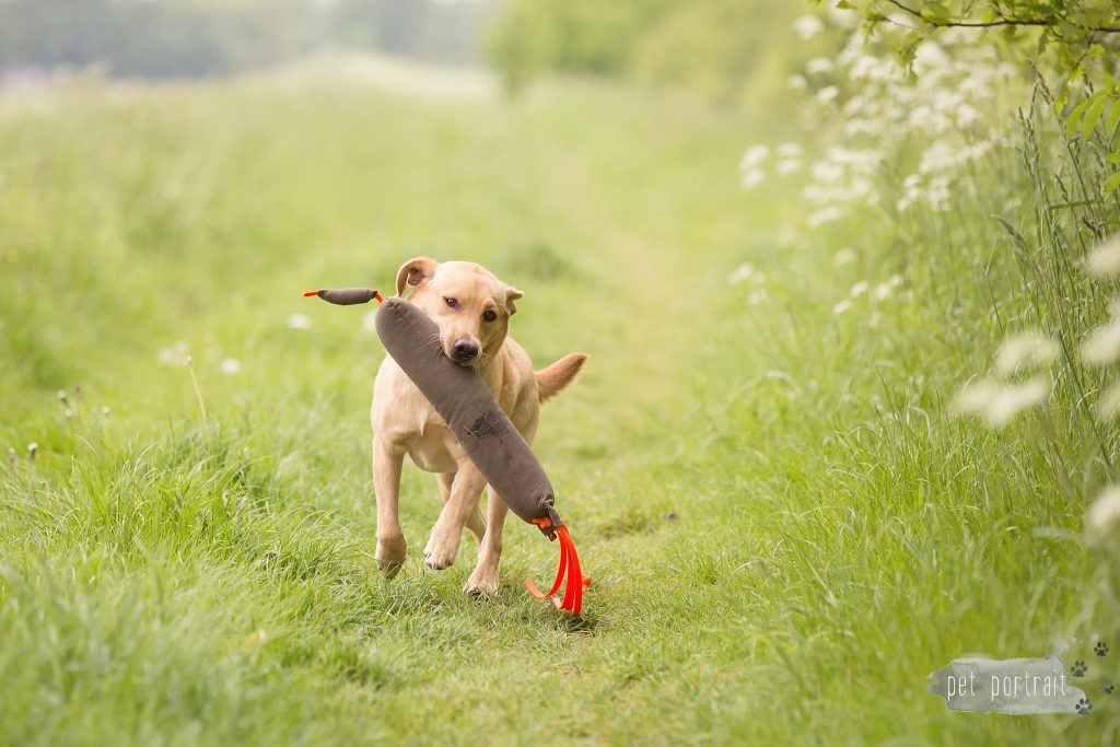 Hondenfotograaf Dinteloord - Labradors Freyja Skadi en Juno week 20-3_WEB