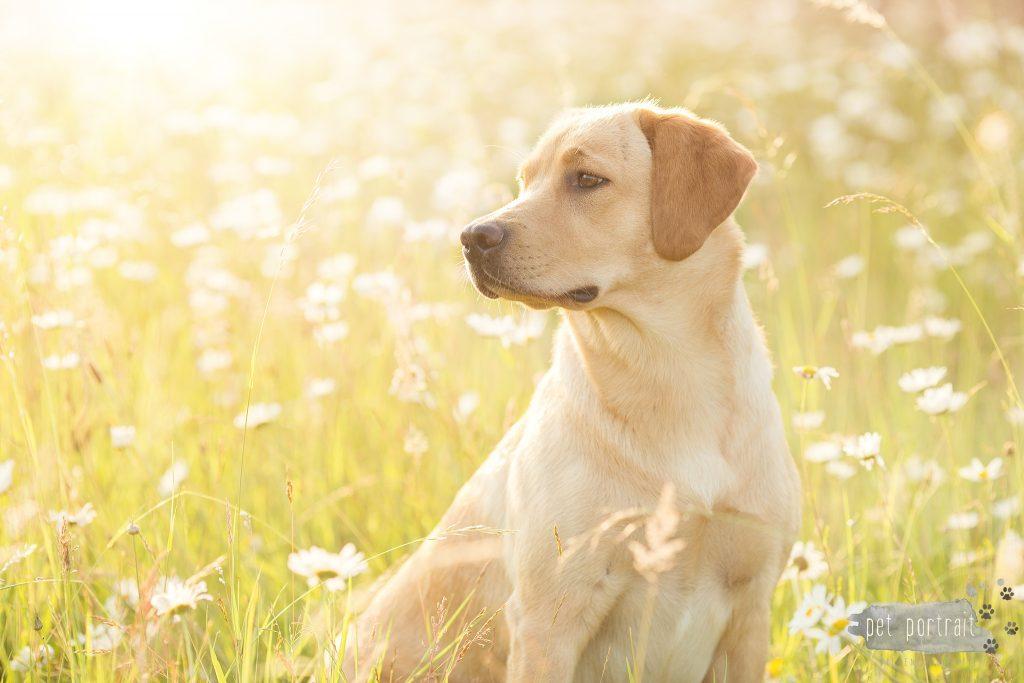 Hondenfotograaf Goeree-Overflakkee - Labradors Freyja, Skadi en Juno-6_WEB