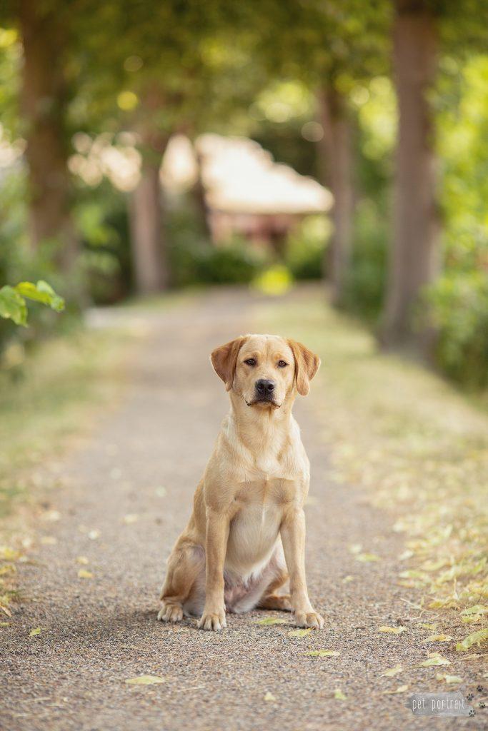 Hondenfotograaf Goeree-Overflakkee - Labradors Juno, Freyja en Skadi - week 24-2_WEB