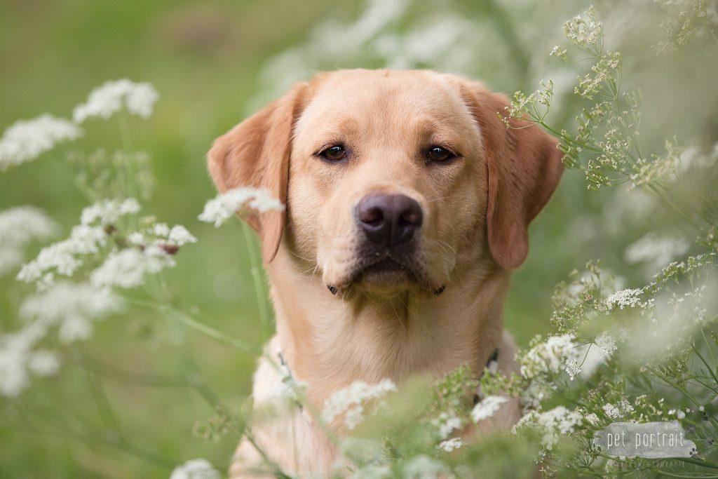 Hondenfotograaf Ooltgensplaat - Labradors Freyja Skadi en Juno week 19-2_WEB