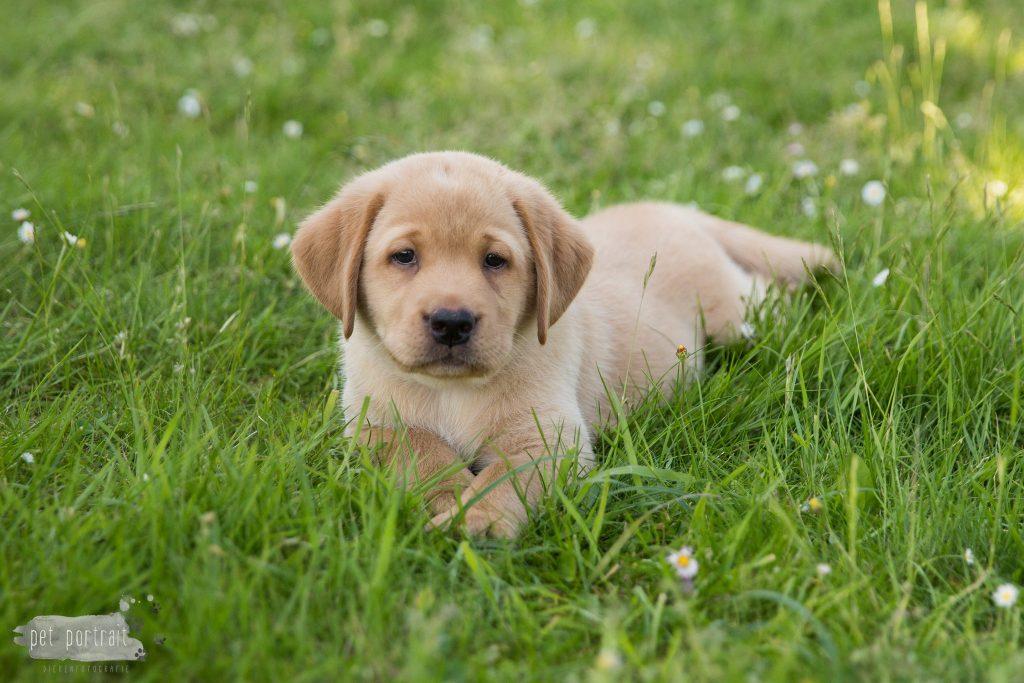 Labrador Pups Juno en Shai - 26 mei 2017-70