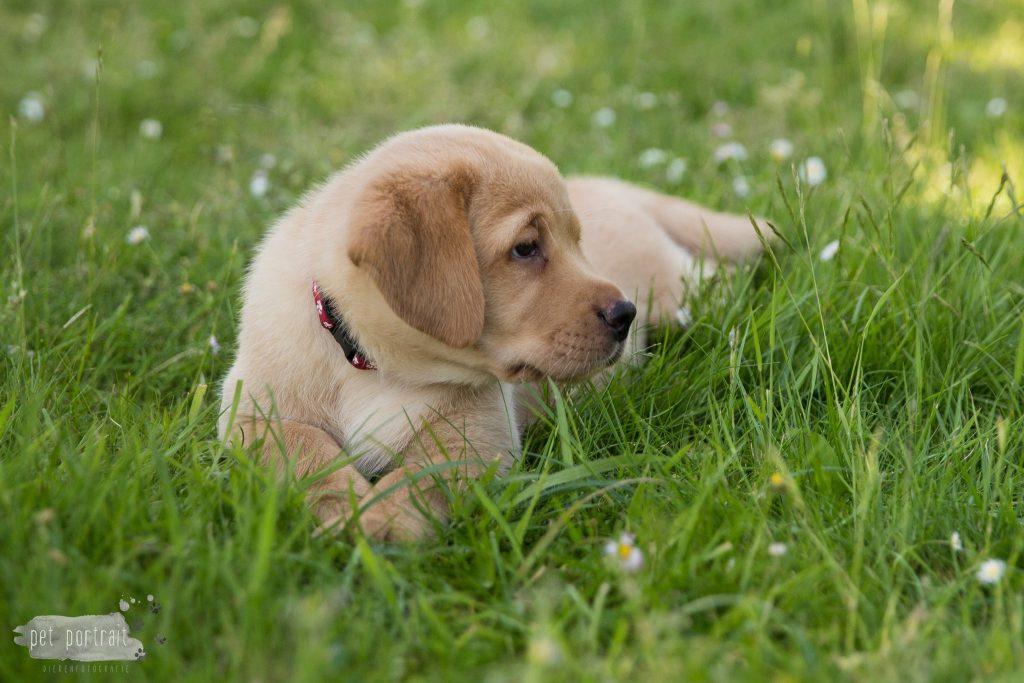 Labrador Pups Juno en Shai - 26 mei 2017-73