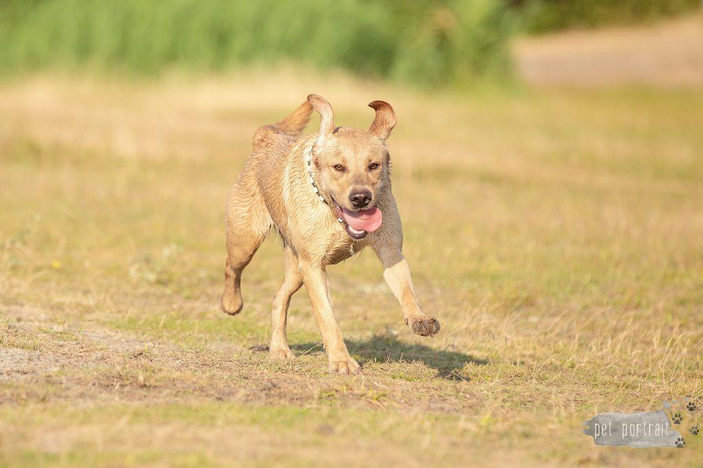 Labradors Freyja, Skadi en Juno (en Ishtar) - week 29-15_WEB