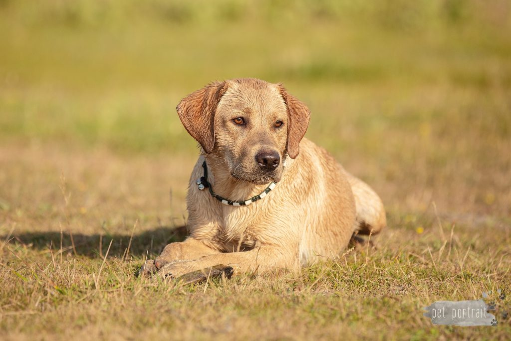 Labradors Freyja, Skadi en Juno (en Ishtar) - week 29-19_WEB
