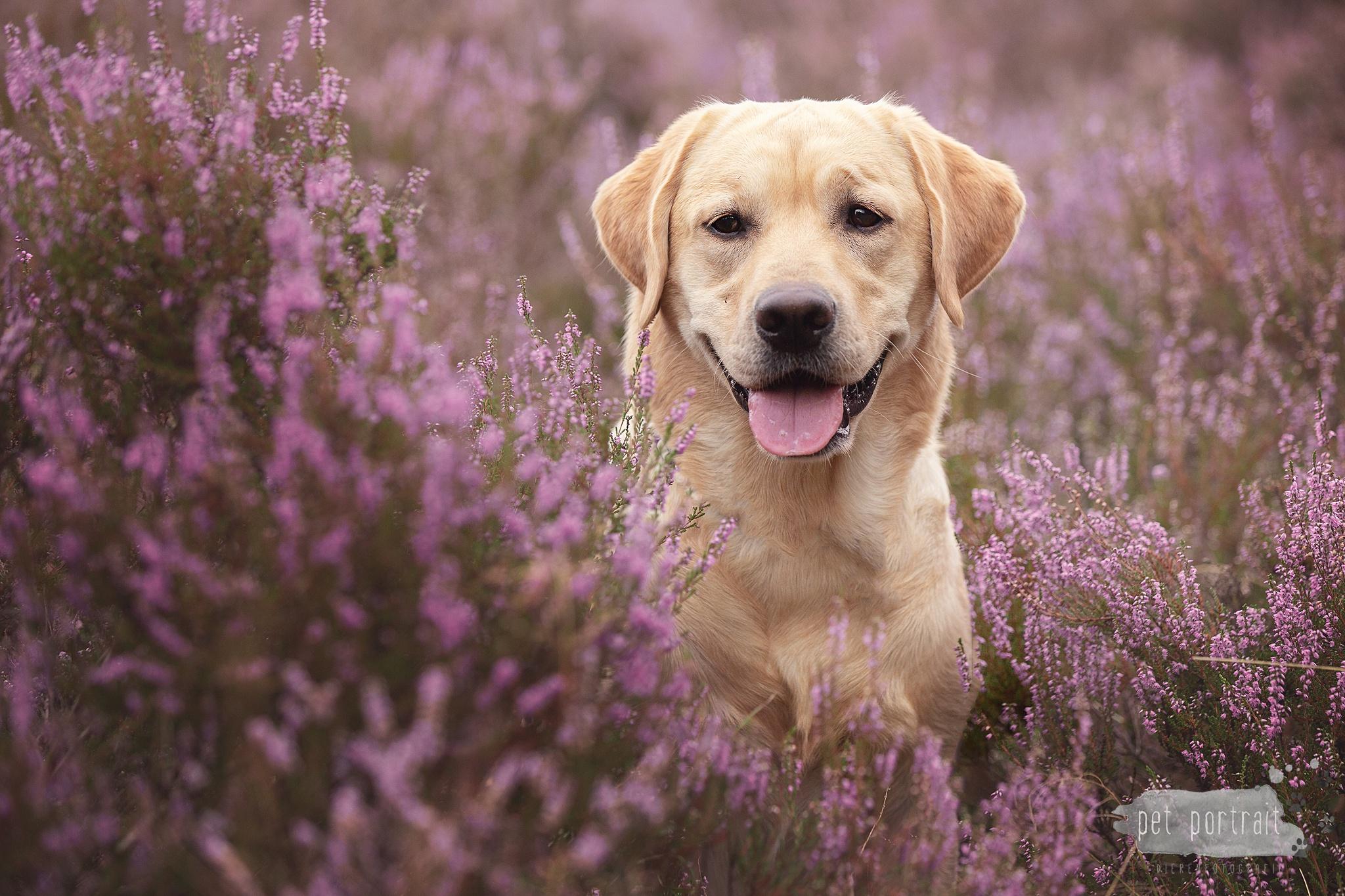 Hondenfotograaf Bergen op Zoom - Labradors Freyja, Skadi en Juno, week 33-3_WEB